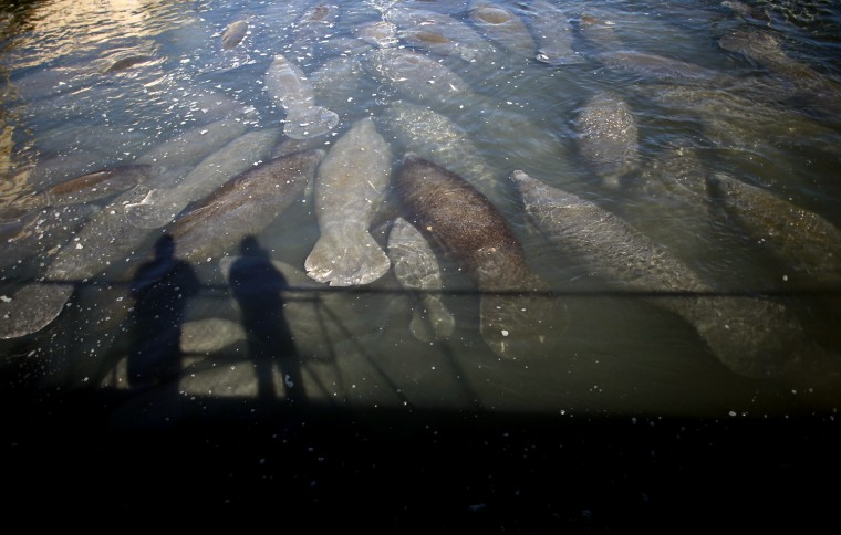 Image: Manatees gather near the outlet where Florida Power & Light Company (FPL) pipes warm the water, at an inactive power plant undergoing renovation works in Riviera Beach