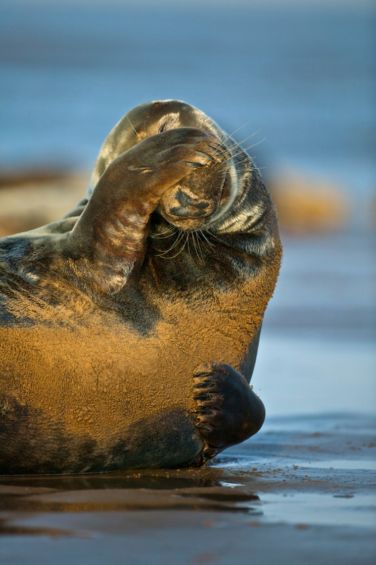 A male Grey Seal (Halichoerus grypus) scratching his face on the beach, North Sea, Donna Nook, Linconshire, UK.