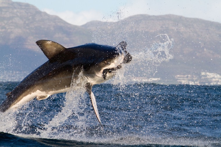 Image: A great white shark breaches in South Africa