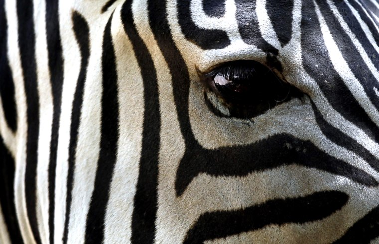 Image: Grant's Zebra Wendy, mother of a newborn male, look on at the Rome Zoo