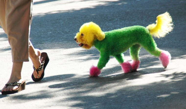 Image: A Fashion Dog