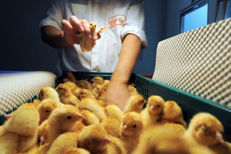 Image: FRANCE-AGRICULTURE-SOUTH-KOREA-CHICKS