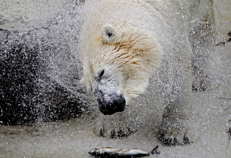 Image: Vitus, an 18-year-old male polar bear, shakes off water inside his enclosure at the zoo in Budapest
