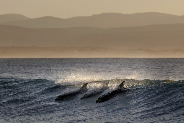 Image: Day three of Association of Surfing Professionals World Tour event from Jeffreys Bay, South Africa