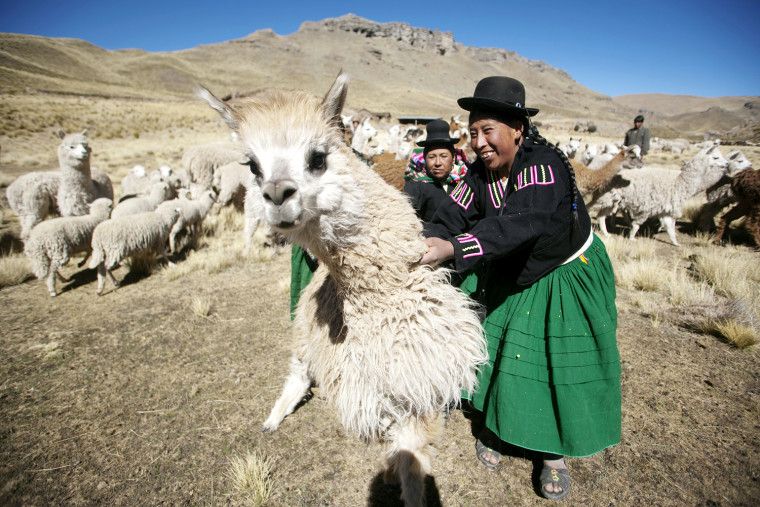 Image: Two female shepherds catch an alpaca before shearing it near the Andean district of Larakeri at the highlands of Puno