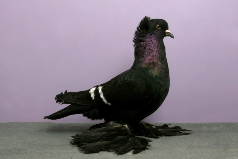 Grand National Pigeon Show champions