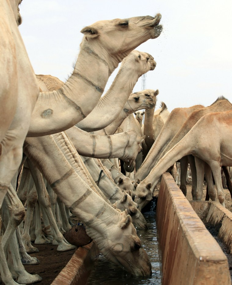 Image: Drought-stricken camels drink water from a tank near Harfo, northwest of Mogadishu
