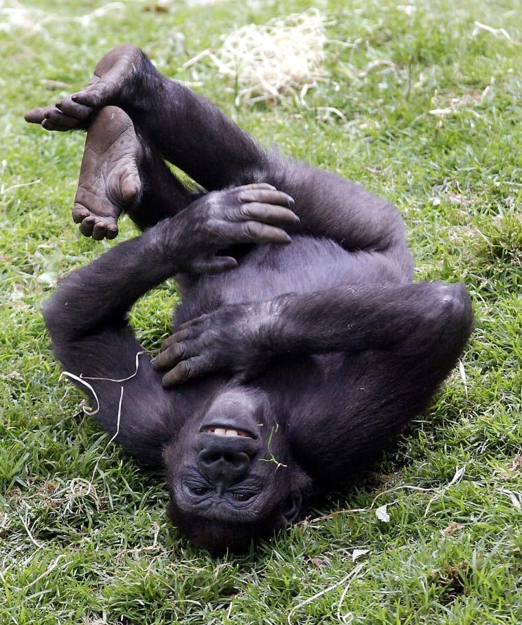 5 yrs old Yakini in the Gorilla Enclosure at Melbourne Zoo, Australia - 23 Nov 2004