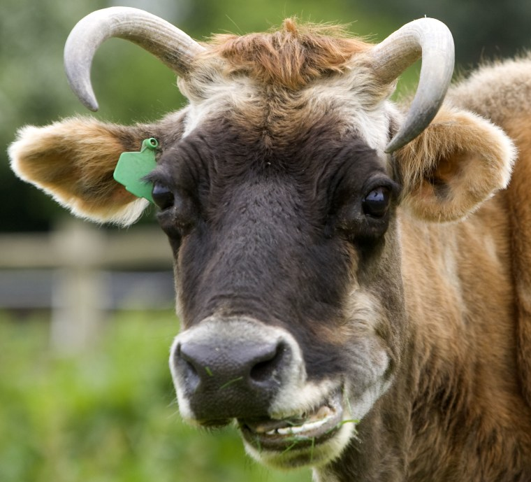 37-year-old Dolly, who is thought to be the oldest cow in Britain, Mistley Place Park Animal Rescue Centre, Essex, Britain - 15 May 2008