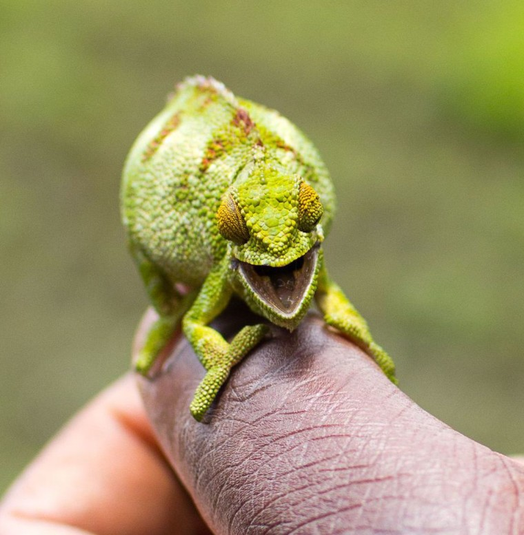 Smiling chameleon at Volcanoes National Park, Rwanda, Africa - 26 Sep 2011