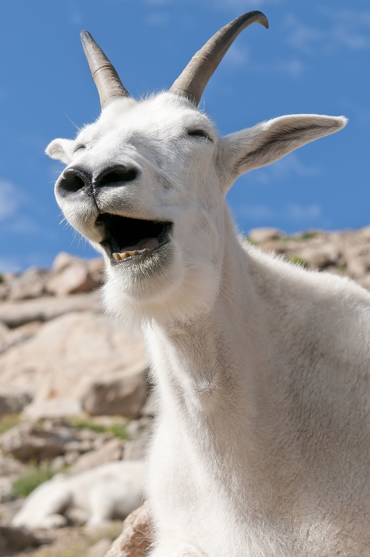 Laughing mountain goat, Mt. Evans, Colorado, America - Sep 2011