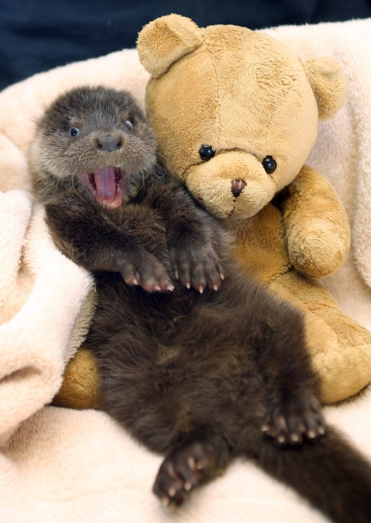 A tiny 8 week old Otter Cub found alone and wandering the roads of Exmoor near Winsford, Somerset, Britain - Mar 2009