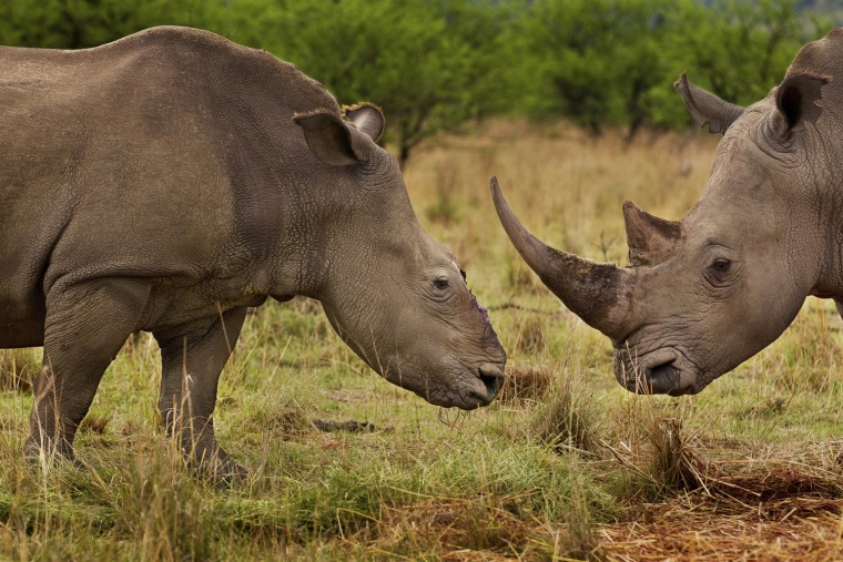 "Image: Brent Stirton of South Africa has won first prize Nature Stories for the ""Rhino Wars"" series"