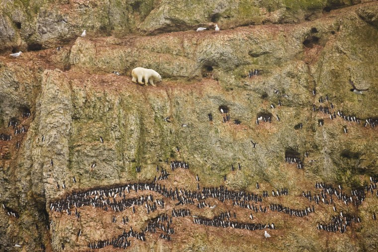 Image: Jenny E. Ross of the U.S. has won the first prize Nature Singles with this picture of a male polar bear climbing on the face of a cliff in northern Novaya Zemlya