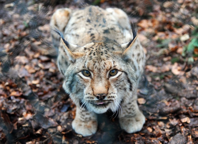 Image: Lynx in Bad Harzburg