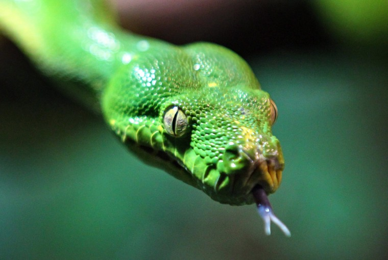 Image: Green tree pythons move to hillside zoo Halle