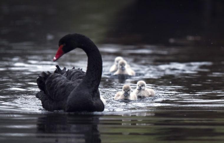 Image: Black swans