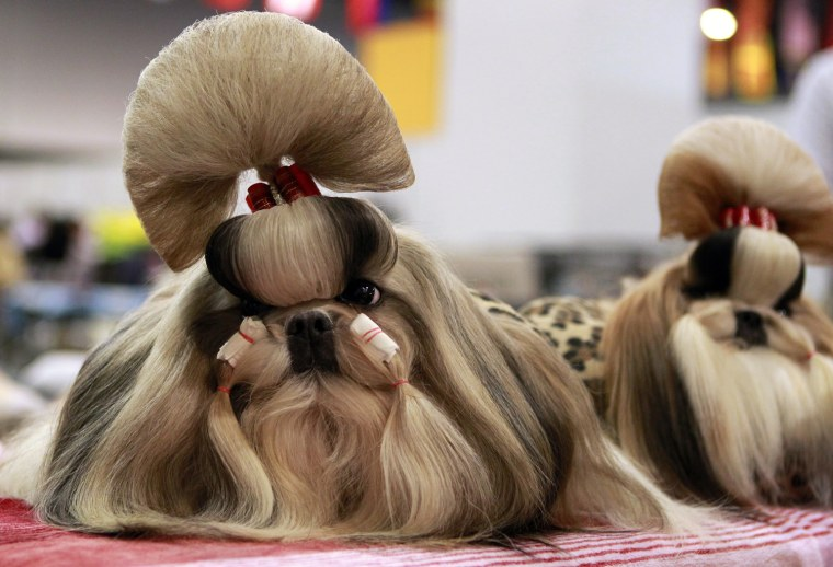 Image: Groomed Shih Tzu dogs wait for the start of a competition during the Asia-Pacific Dog Show in Manila