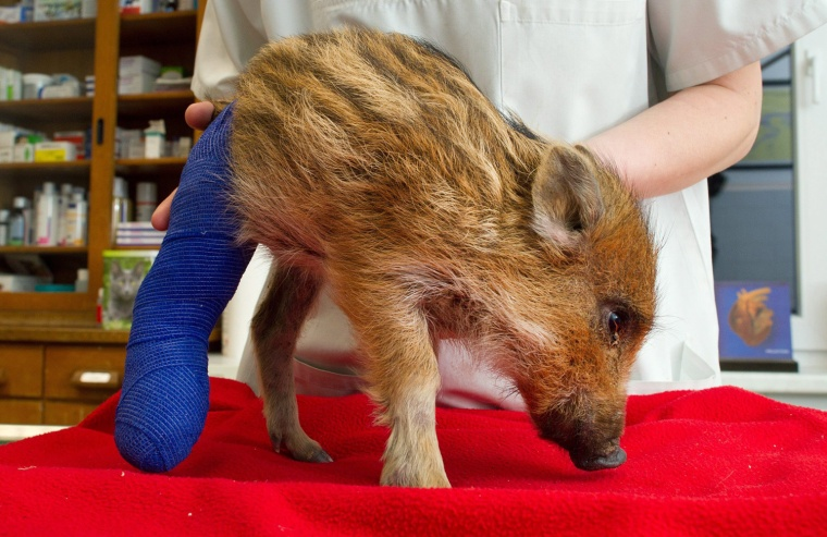 Image: Veterinarian treats young wild boar