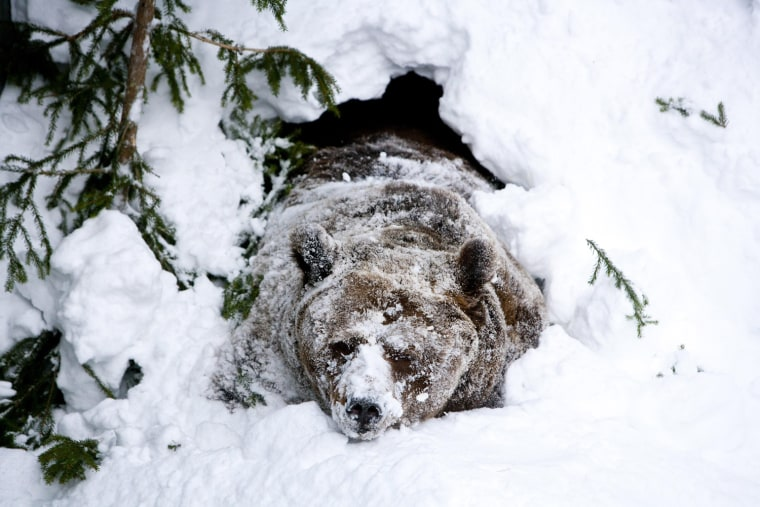 Image: Palle-Jooseppi, a male brown bear at Ranua Zoo, wakes up after winter hibernation in Ranua