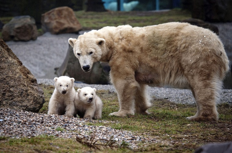 Image: Polar Bear twins in Dutch zoo for the first time in open air