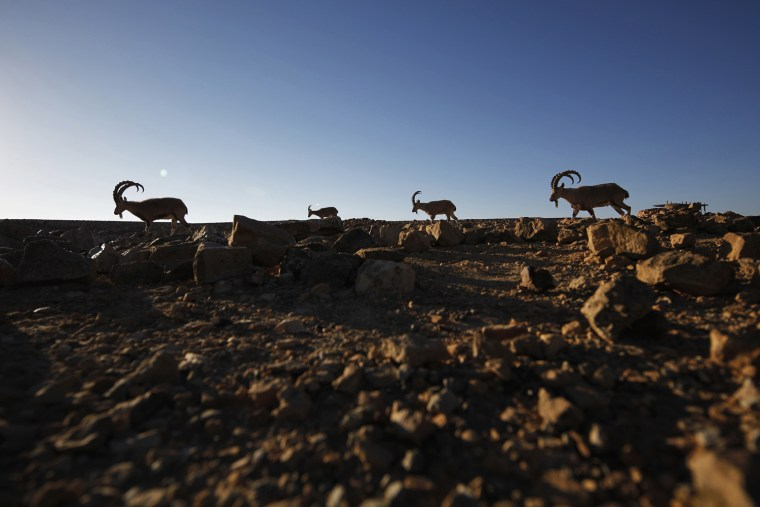 Image: Ibexes roam on a cliff in southern Israel's Negev desert