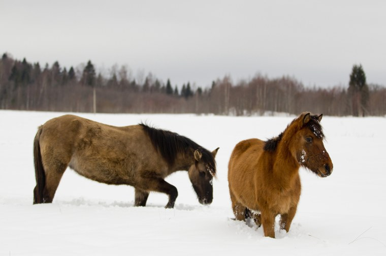 Image: Horses walk in the snow outside the town of Rzhev