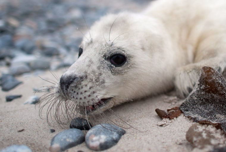 Image: Gray seals howler rescued