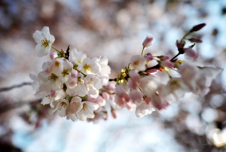 Image: US-WEATHER-CHERRY-BLOSSOMS
