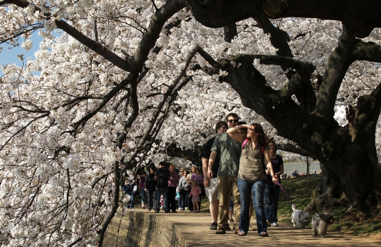 Image: Cherry Trees In Bloom In Washington DC