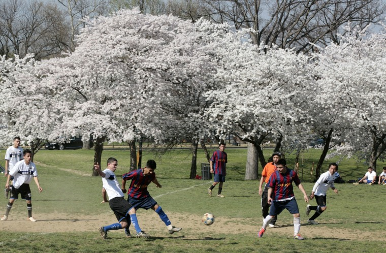 Image: Two soccer teams play next to the cherry blossom trees in full bloom in Washington