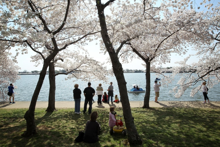 Image: BESTPIX   Cherry Trees In Bloom In Washington DC