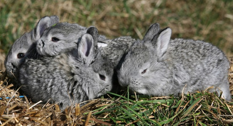 Image: Rabbit of Cluj, a new rabbit breed developed in Transylvania
