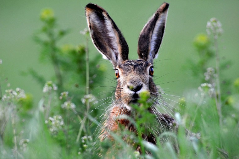 Image: A brown hare