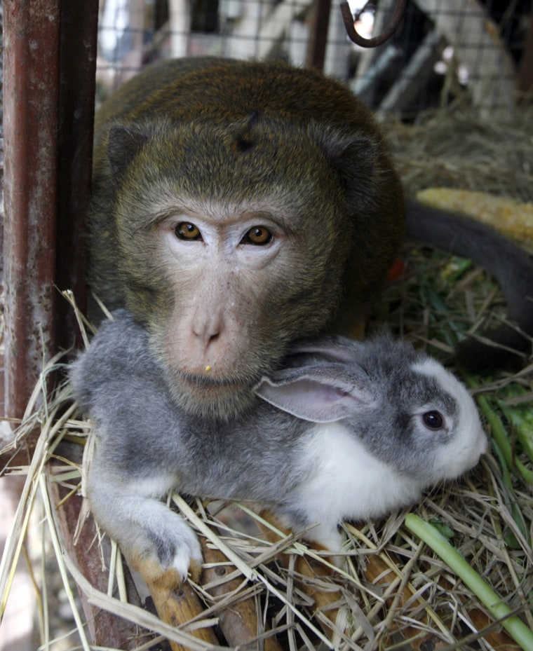 Image: BoonLua, long-tailed macaque, lives with rabbit in Ayutthaya province