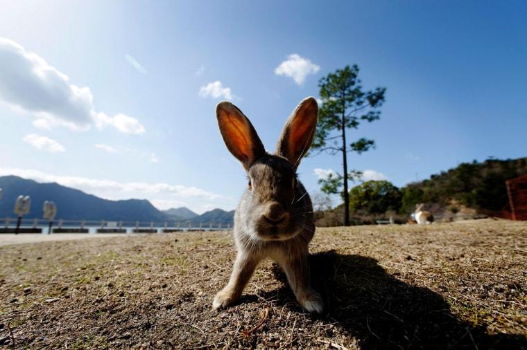 Image: Okunoshima, former poison gas island known as Rabbit Island