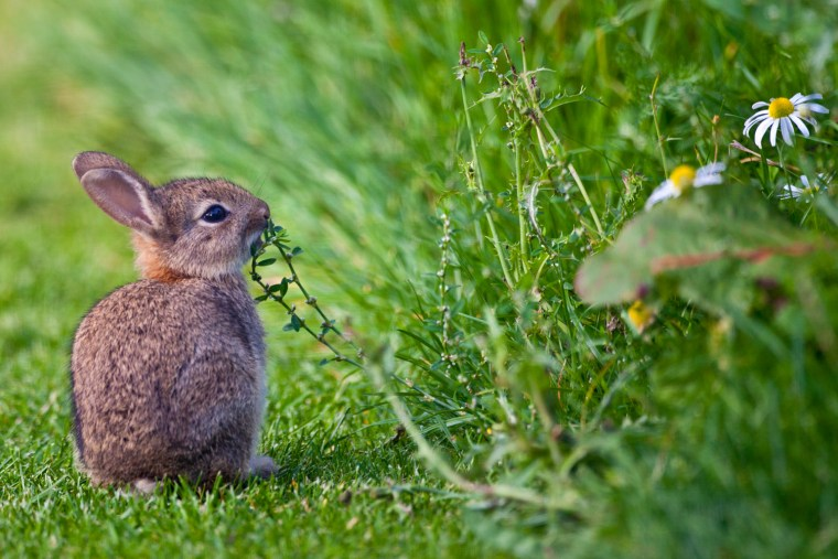 Young Rabbit in English Countryside