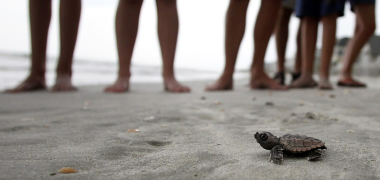 Image: A loggerhead turtle hatchling makes it's way to the surf, as tourists and volunteers look on, at South Litchfield Beach