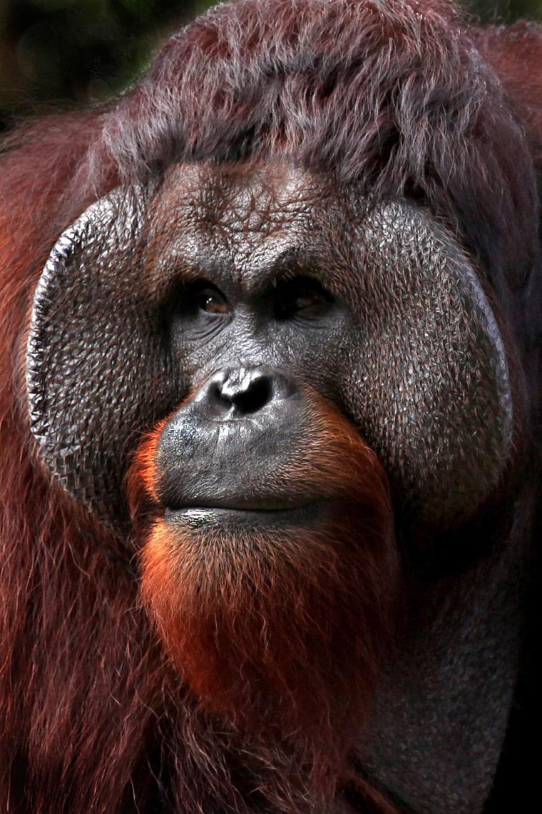 Image: Orangutan intently eying the visitors