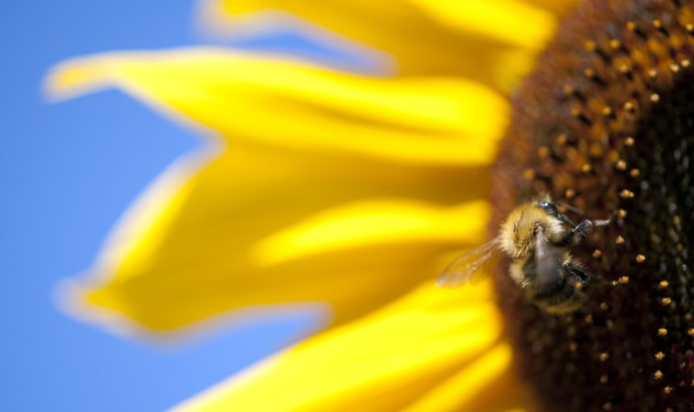 Image: GERMANY-WEATHER-BEE-SUNFLOWER-FEATURE