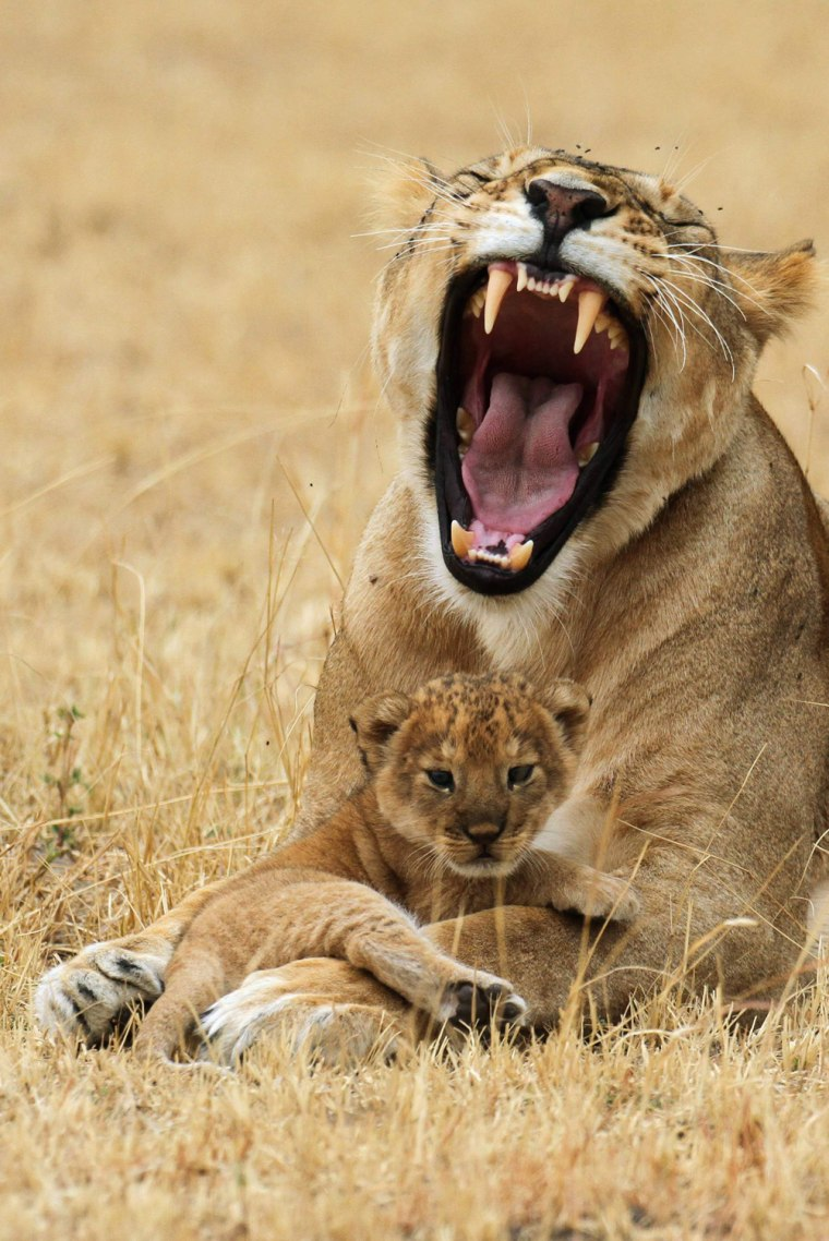 Image: Lioness yawns while resting with its cub at Tanzania's Serengeti