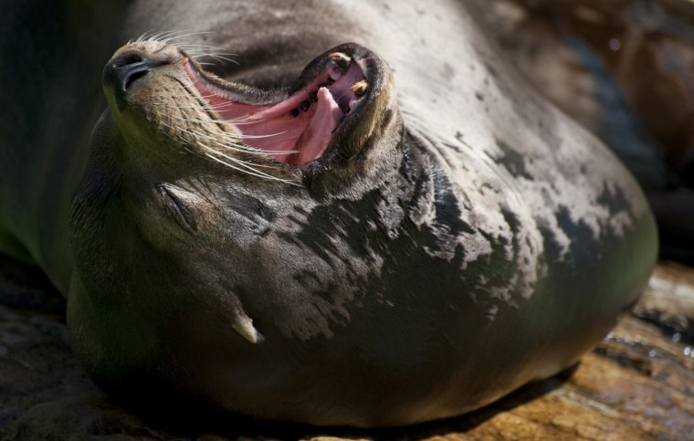 Image: A Californian sea lion yawns in his encl