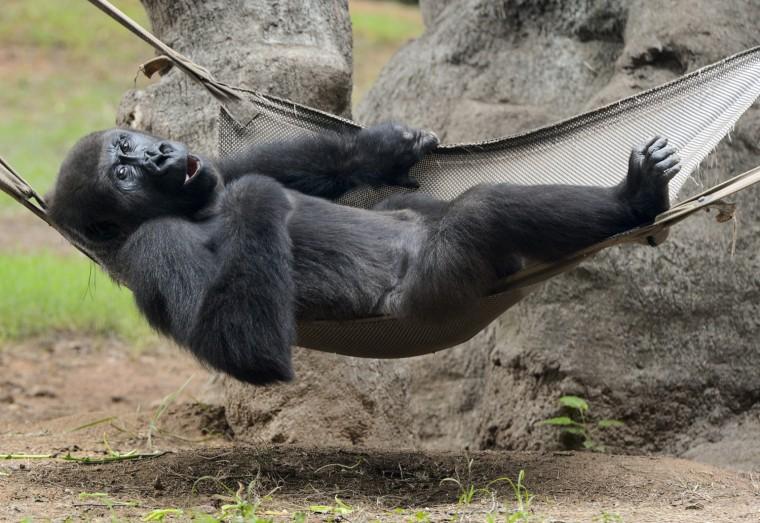 Image: Western lowland gorilla at Zoo Atlanta