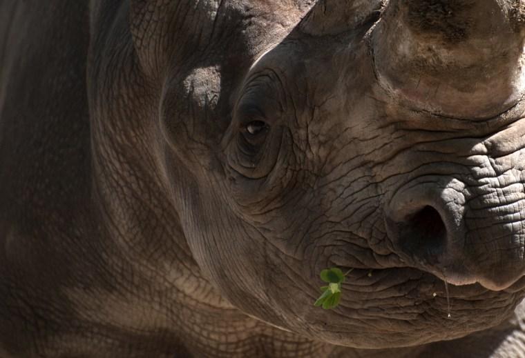 Image: A rhinoceros has a cloverleaf in its mou