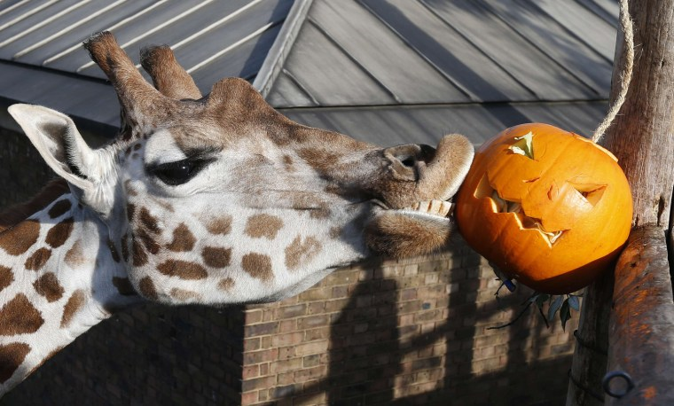 Image: Maggie, a giraffe plays with a carved pumpkin during a Halloween-themed media event at the London Zoo