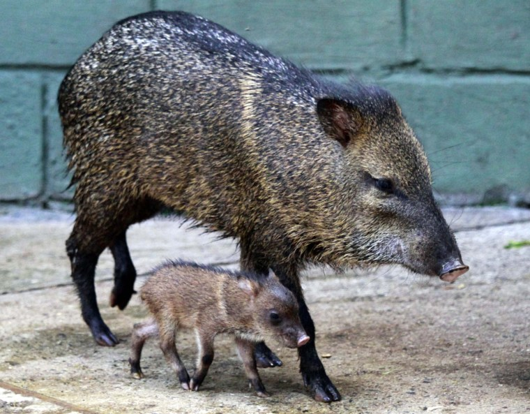 Image: A newly born Tatabra walks with her mother in Santa Fe zoo in Medellin