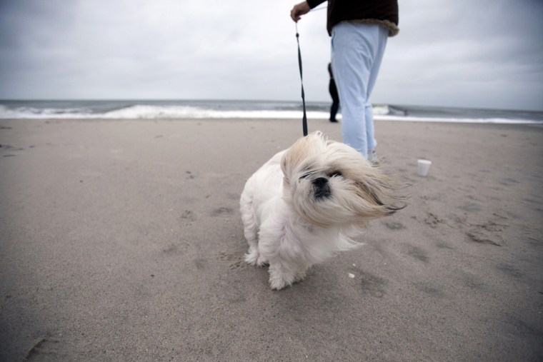 Image: Bailey the dog is walked along the beach at Cape May, N.J., as Hurrican Sandy approaches on Sunday.