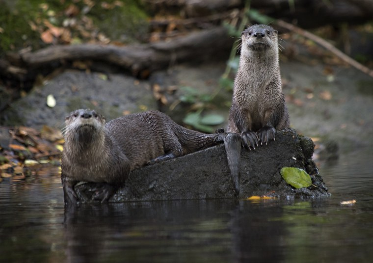 Image: River Otters
