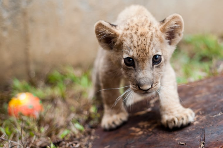 Image: COLOMBIA-ANIMALS-LIONS-CUBS-ZOO