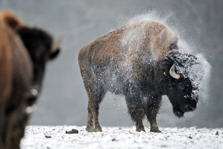 Image: Bison in the cold and snow